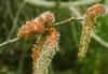 Bachbloesem healing herbs Aspen / Ratelpopulier