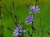 Bachbloesem healing herbs Chicory/Chicorei